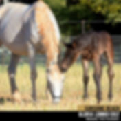 Horse Photography by Clarinda Park Photography   CIRCUIT, a Sunshine Beach colt by Gloria Lombo.