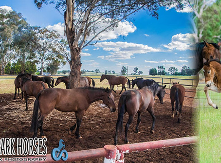 Clarinda Park Horses Services 109 Mares For The Breeding Season 2017