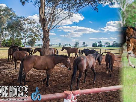 Clarinda Park Horses Services 109 Mares For The Breeding Season 2017