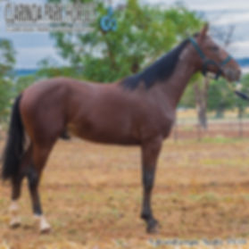 """""""DOC"""" is a Somebeachsomewhere colt ot of The White Mouse. He was presented and sold at APG Sydney Yearlings Sale 2018."""