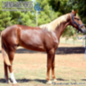 """""""GOLDIE"""" is a Blissful Hall colt out of mare Lombo La Shelly. He was presented and sold at the horse auction of Bathurst Goldcrown Yearlings Sale 2017."""