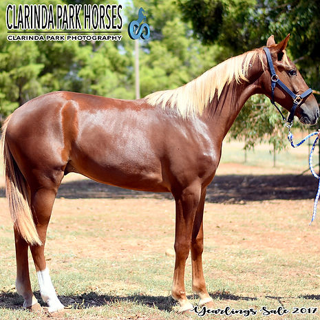"""GOLDIE"" is a Blissful Hall colt out of mare Lombo La Shelly. He was presented and sold at the horse auction of Bathurst Goldcrown Yearlings Sale 2017."
