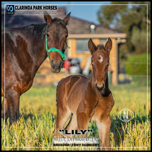 "Clarinda Park Horses | Foals 2019 | ""LILY"" a MAJESTIC SON filly out of MAKAREWA LIL NZ"