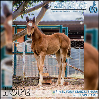 """""""Clarinda Park Horses"""" Foals 2018 - a FOUR STARZZZ SHARK filly out of SPERIAMO"""