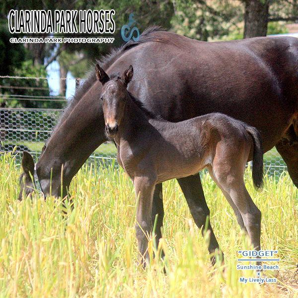 """Horse Foals Photo 2016 - """"GIDGET"""" - Sunshine Beach x My Lively Lass"""
