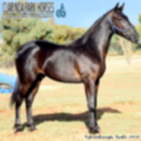 """ARTIE"" is a Modern Art colt out of mare Spread The Joy. He was presented and sold at the horse auction of Bathurst Goldcrown Yearlings Sale 2017."
