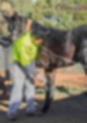 Horse Service Foal Handling at Clarinda Park Horses.