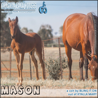 """""""Clarinda Park Horses"""" Foals 2018 - a BLING IT ON colt out of KYALLA MARY"""