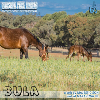 """""""Clarinda Park Horses"""" Foals 2018 - MAJESTIC SON colt out of MAKAREWA LIL"""
