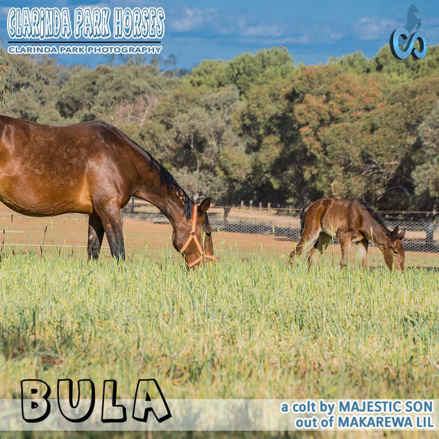 """Clarinda Park Horses"" Foals 2018 - MAJESTIC SON colt out of MAKAREWA LIL"