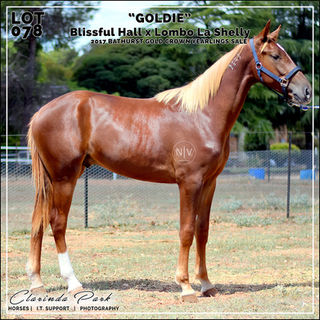 """2017 Bathurst Gold Crown Yearlings Sale - Lot 078 - """"GOLDIE"""" - Blissful Hall x Lombo La Shelly"""