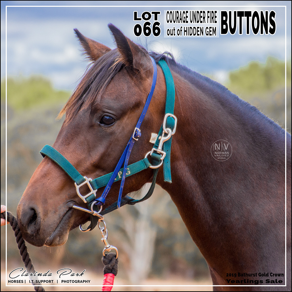 """""""BUTTONS"""", a colt by Courage Under Fire out of Hidden Gem. Lot 66 in 2019 Bathurst Gold Crown Yearlings Sale at Bathurst Harness Racing Club."""