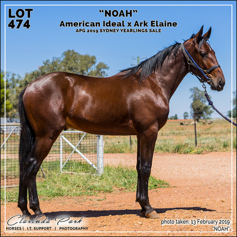 Yearlings Sale Horse Photography - 2019 - A - Sydney Yearling Sale 2019 - 01 - NOAH - American Ideal x Ark Elaine - 012 (20190213)