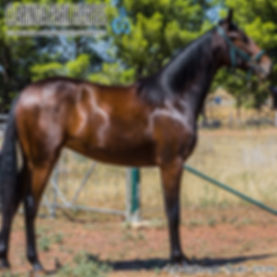 PIA is an Heston Blue Chip filly out of mare Soho Leigh. She was presented and sold at the horse auction at Bathurst Goldcrown Yearlings Sale 2018.