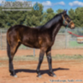NOLAH is a Maffioso colt out of mare Sarah Topaz. He was presented and sold at the horse auction at Bathurst Goldcrown Yearlings Sale 2018.