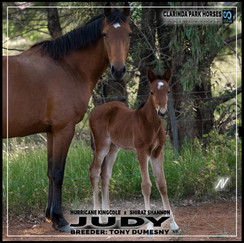 Hurricane Kingcole filly out of Shiraz Shannon