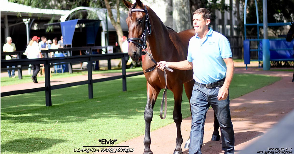 """ELVIS"", sired by A Rocknroll Dance, parades before going to the APG Sydney parade ring"
