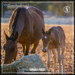 Clarinda Park Horses | Foals 2019 | ART MAJOR out of TESSACE