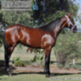"""BIG BOY"", now named as McEVOY, is an Art Major colt out of mare Learjet. He was presented and sold at the horse auction of APG Sydney Yearlings Sale 2016."