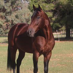 Clarinda Park Horses does AI for Stallions Like Maffioso