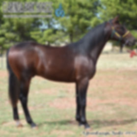 """""""BULLY"""" is a Sportswriter colt out of mare Bushy Tail. He was presented and sold at the horse auction of Bathurst Goldcrown Yearlings Sale 2017."""