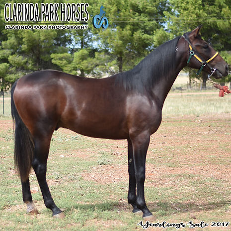 """BULLY"" is a Sportswriter colt out of mare Bushy Tail. He was presented and sold at the horse auction of Bathurst Goldcrown Yearlings Sale 2017."