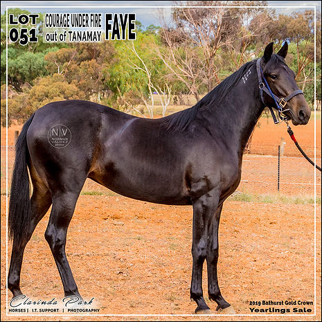 2019 Bathurst Gold Crown Yearlings Sale. Lot 51 (Courage Under Fire x Tanamay)