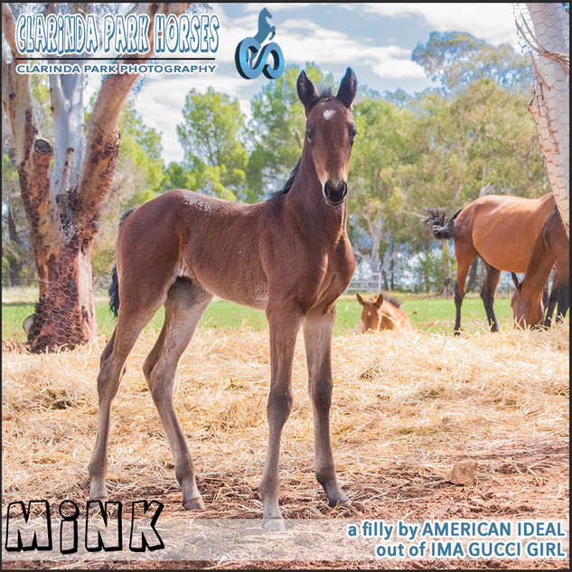 """Clarinda Park Horses"" Foals 2018 - an AMERICAN IDEAL colt out of IMA GUCCI GIRL"