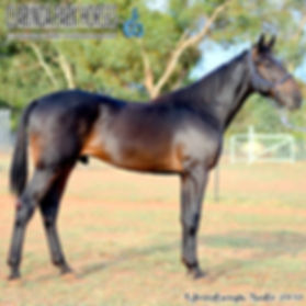 """""""JACK"""" is an Auckland Reactor colt out of mare Quiet Talker. He was presented and sold at the horse auction of Bathurst Goldcrown Yearlings Sale 2017."""