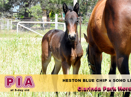 A HESTON BLUE CHIP filly was born at Clarinda Park Horses