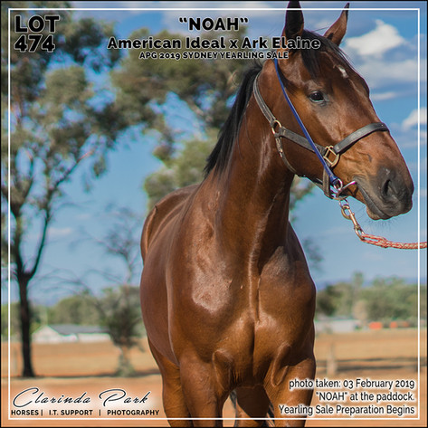 "APG 2019 Sydney Yearlings Sale - Lot 474 ""NOAH"""