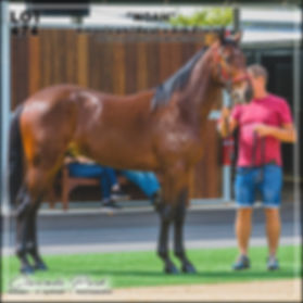 Australian Pacing Gold (APG) 2019 Sydney Yearlings Sale. Lot 474 NOAH (Ameican Ideal x Ark Elaine)