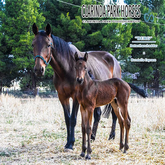 "Horse Foals Photo 2017 - ""BERG"" - Betterthancheddar x Bundella Express"