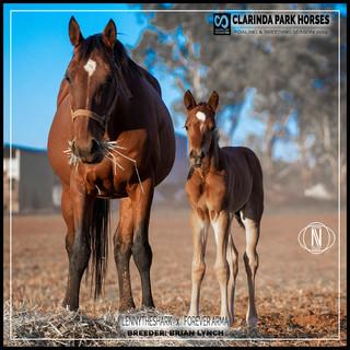 Clarinda Park Horses | Foals 2019 | LENNYTHESHARK out of FOREVER ARMA