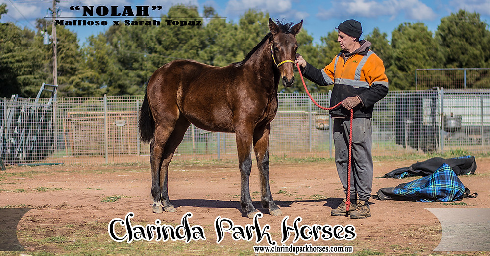 Nolah, a colt by Maffioso and Sarah Topaz, standing at Clarinda Park Horses. Nolah at 8 months old.