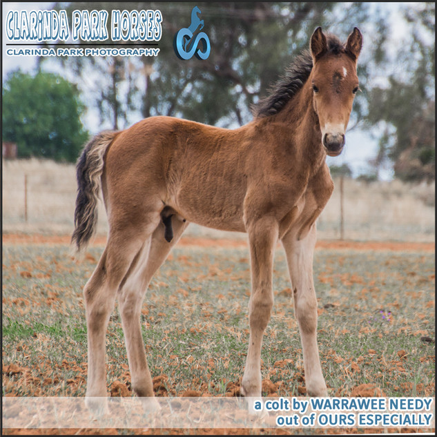 """Clarinda Park Horses"" Foals 2018 - a WARRAWEE NEEDY colt out of OURS ESPECIALLY"
