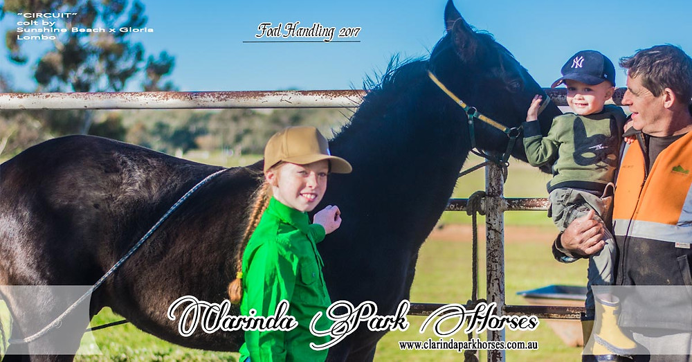 """Foal Handling at Clarinda Park Horses. """"Circuit"""", 8-month old colt by Sunshine Beach x Gloria Lombo"""