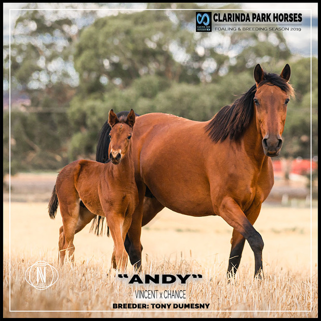 Clarinda Park Horses | Foals 2019 | a colt by VINCENT out of CHANCE NZ
