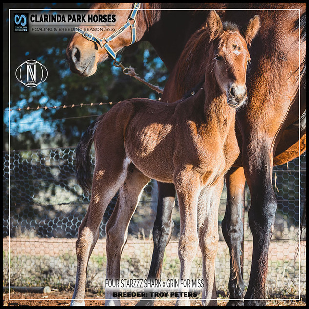 Clarinda Park Horses | Foals 2019 | a filly by FOUR STARZZZ SHARK out of GRIN FOR MISS
