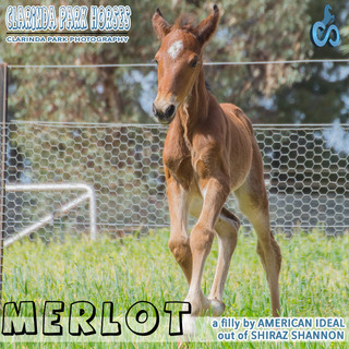 """""""Clarinda Park Horses"""" Foals 2018 - AMERICAN IDEAL filly out of SHIRAZ SHANNON"""