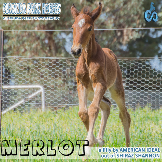 """Clarinda Park Horses"" Foals 2018 - AMERICAN IDEAL filly out of SHIRAZ SHANNON"