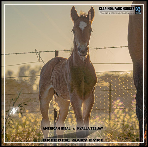 American Ideal colt out of Kyalla Tee Jay