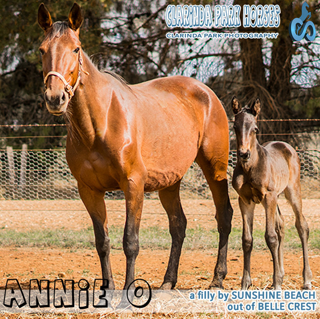 """Clarinda Park Horses"" Foals 2018 - SUNSHINE BEACH filly out of Belle Crest"