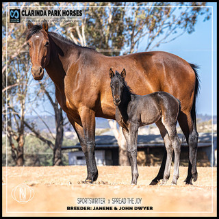 Clarinda Park Horses | Foals 2019 | a filly by SPORTSWRITER out of SPREAD THE JOY