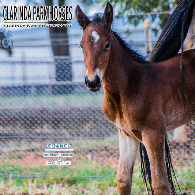 """Horse Foals Photo 2017 - """"CHANEL"""" - Auckland Reactor x Our Gucci Girl"""