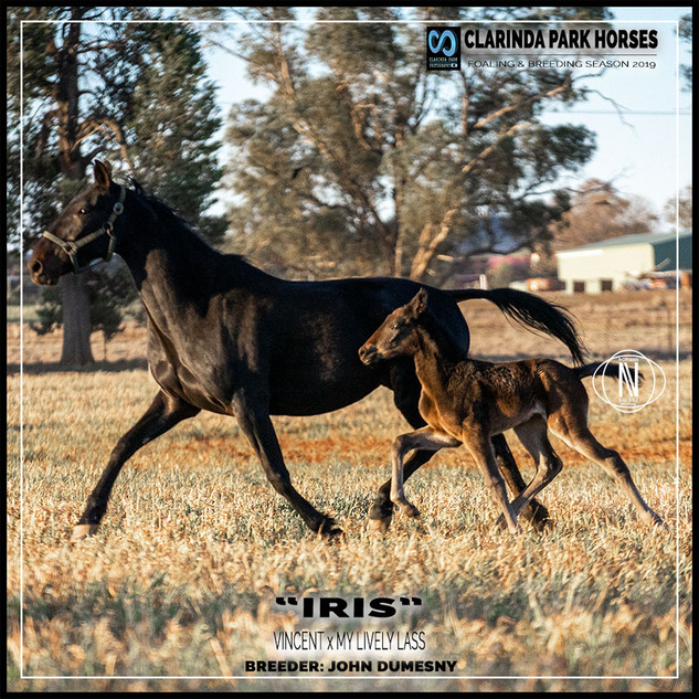 "Clarinda Park Horses | Foals 2019 | ""IRIS"" a VINCENT filly out of MY LIVELY LASS"