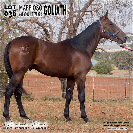 2019 Bathurst Gold Crown Yearlings Sale. Lot 36 (Maffioso x Quiet Talker)