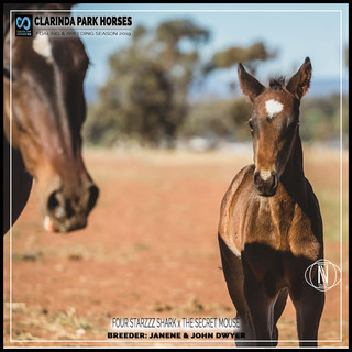 Clarinda Park Horses | Foals 2019 | a colt by FOUR STARZZZ SHARK out of THE SECRET MOUSE