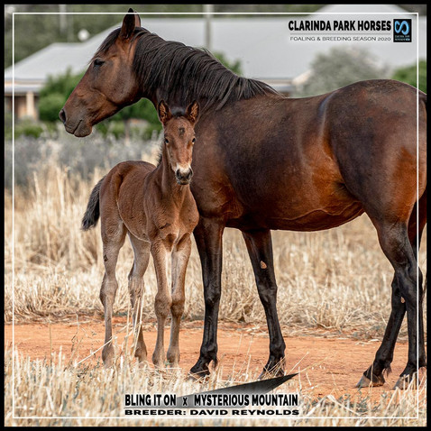 Bling It On filly out of Mysteriousmountain