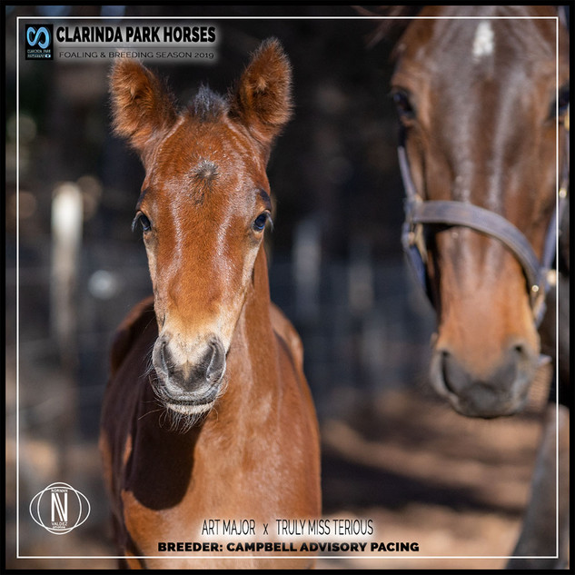 Clarinda Park Horses | Foals 2019 | a colt by ART MAJOR out of TRULY MISS TERIOUS